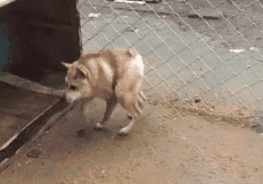 Собака с синдромом короткой спины