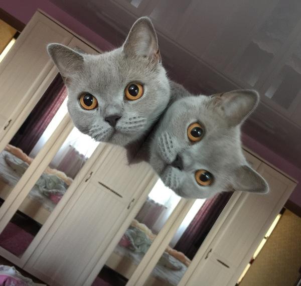 Котокот?.. Домашние животные, Кот, Зеркало