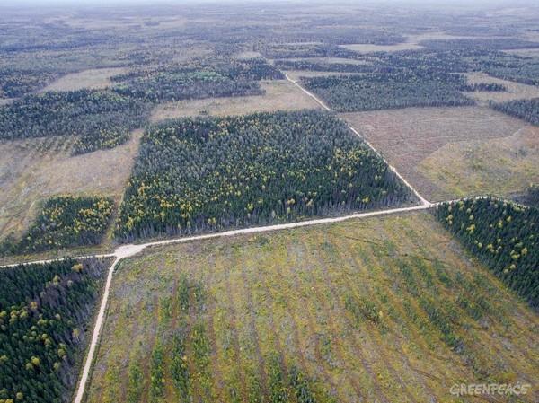 Двинская тайга: лес, который мы теряем Природа, Лес, Тайга, Россия, Длиннопост