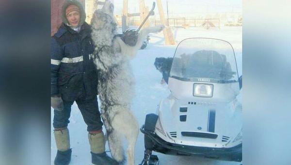 Оленевод в одиночку убил крупного волка. Монтировкой Волк, Оленевод, Монтировка