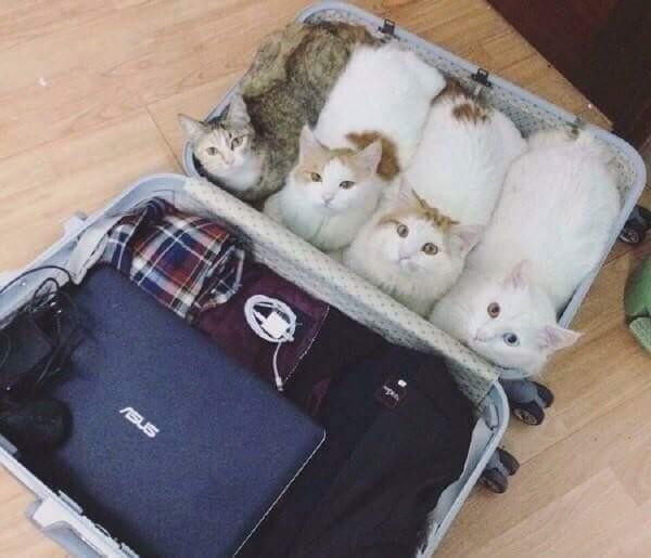 Ну все теперь можно закрывать. кот, командировка, сборы, Чемодан, найдено на просторах сети