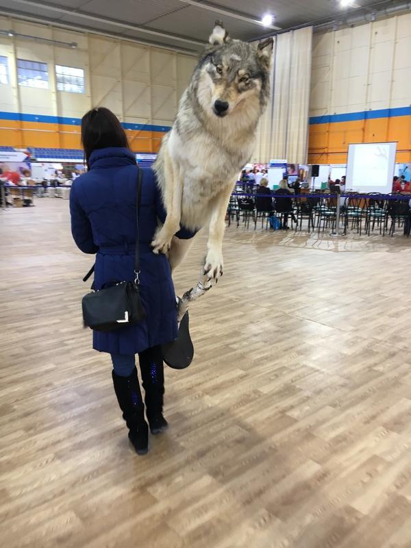 Когда ты шерстяной волчара с могучими лапищами, но нужно идти домой