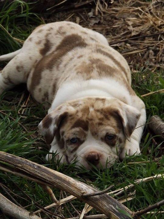 Алапахский бульдог Собака, редкая порода, бульдог, щенки