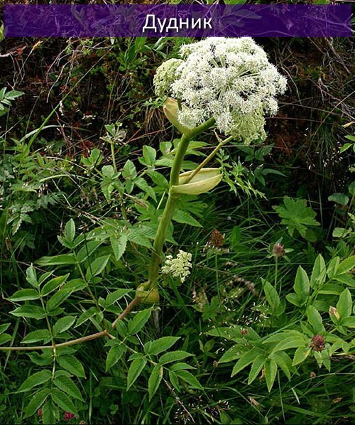 Борщевик vs Дудник Борщевик, Опасные растения, Занимательная ботаника, Длиннопост