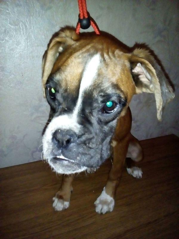 Жестокое обращение с животными боксера, Собака, Помощь, длиннопост