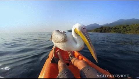 Спасенный пеликан отправляется на рыбалку.