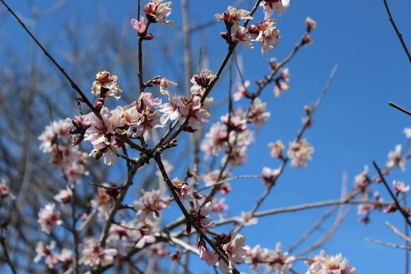 В горах зацвел миндаль Цветы, Кустарник, Горы, Снег, Таджикистан