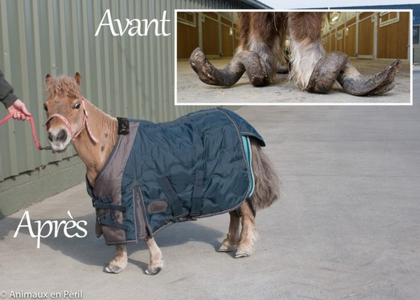 Картинки по запросу В Бельгии волонтеры спасли истощенных и заброшенных пони и лошадь