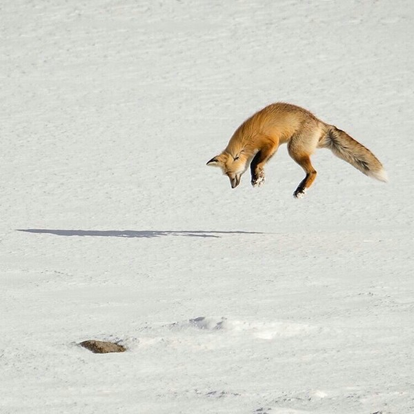 Охоту лисы на мышь в снегу вам в ленту Животные, Лиса, Охота, Снег, Фотография, Длиннопост
