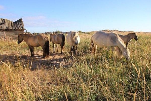 Заполярье - родина моя (часть 7: Кузоменские дикие лошади) заполярье, дикая лошадь, лошадь, длиннопост