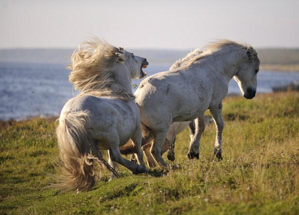 Заполярье - родина моя (часть 7: Кузоменские дикие лошади) Заполярье, Дикая лошадь, Лошади, Длиннопост