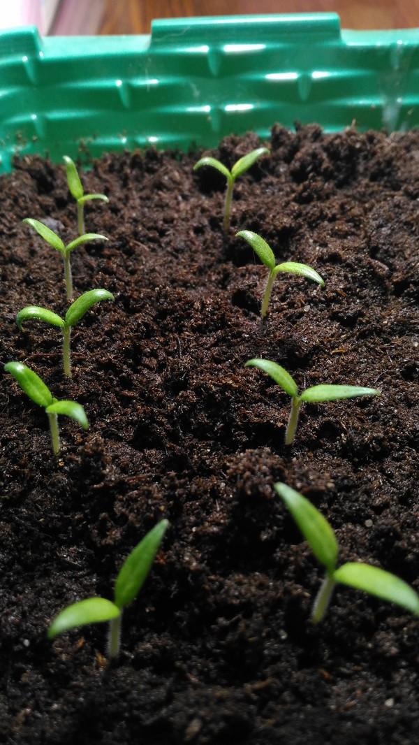 Выращивание дома мелкоплодных томатов Помидор, Растения, Выращивание, Длиннопост