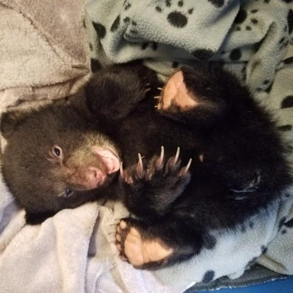 Спас умирающего в лесу медвежонка животные, медведь, спасение, США, штат Орегон, длиннопост