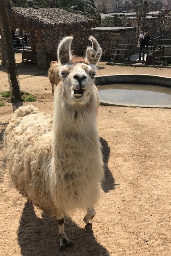 Эмоции ламы, которой предложили яблоко. Зоопарк Гебзе, Турция. Лама, Зоопарк, Животные, длиннопост