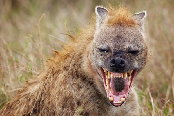 Эволюция гиен. Самые успешные охотники Африки спустились с деревьев? палеонтология, Эволюция, гиена, длиннопост, эволюция хищных