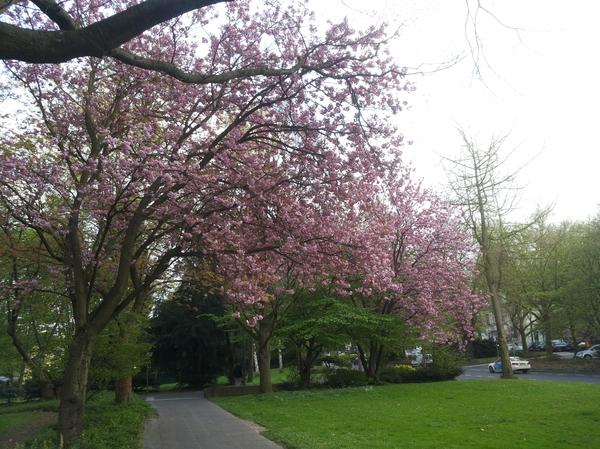 Весна в Бонне Германия, Бонн, Весна, Сакура, Цветет и пахнет, Длиннопост