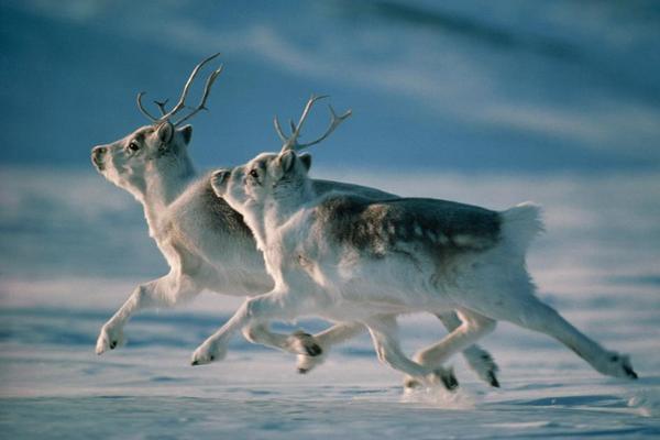 The boreal woodland caribou Rangifer tarandus caribou also known as woodland caribou woodland caribou boreal group and forestdwelling caribou is a North
