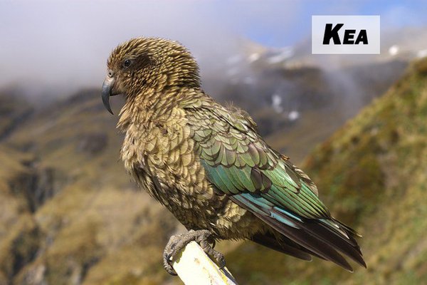 Гроза овец Кеа, Эволюция, Wtf_evolution, Попугай