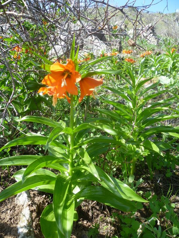 В горах зацвел рябчик Эдуарда Цветы, Лилия, Таджикистан, Длиннопост