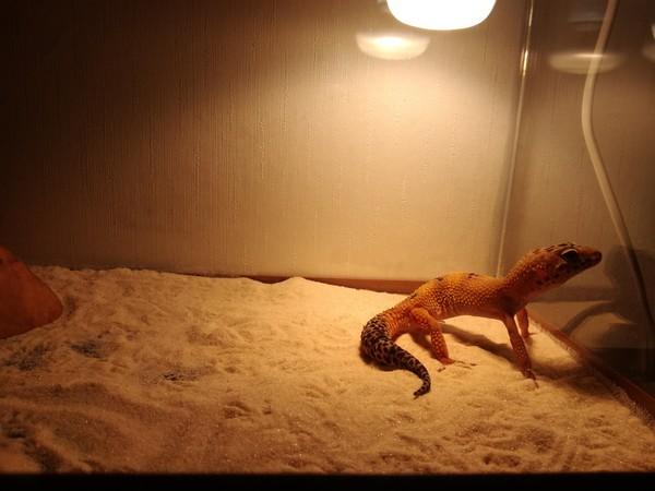Экзотика для начинающих. эублефар, экзотика, домашние животные, ящерица, новичок, длиннопост