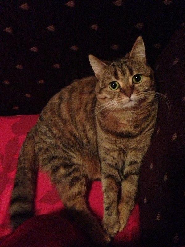 Талисман Зося кот, подобрыш, спас от нападения собак, зося, длиннопост