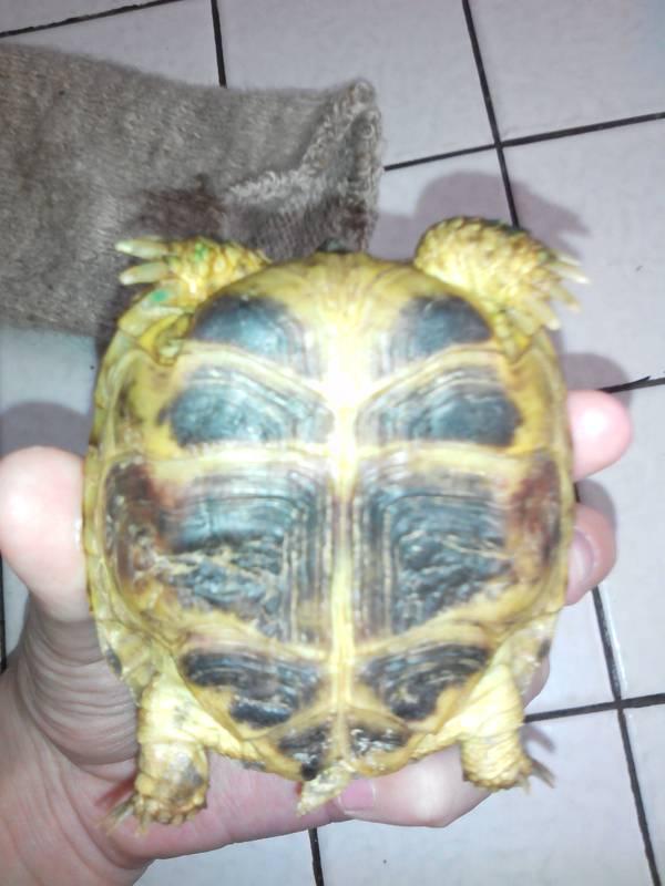 Почечная недостаточность у черепахи Черепаха, Почечная недостаточность, Лечение, Длиннопост