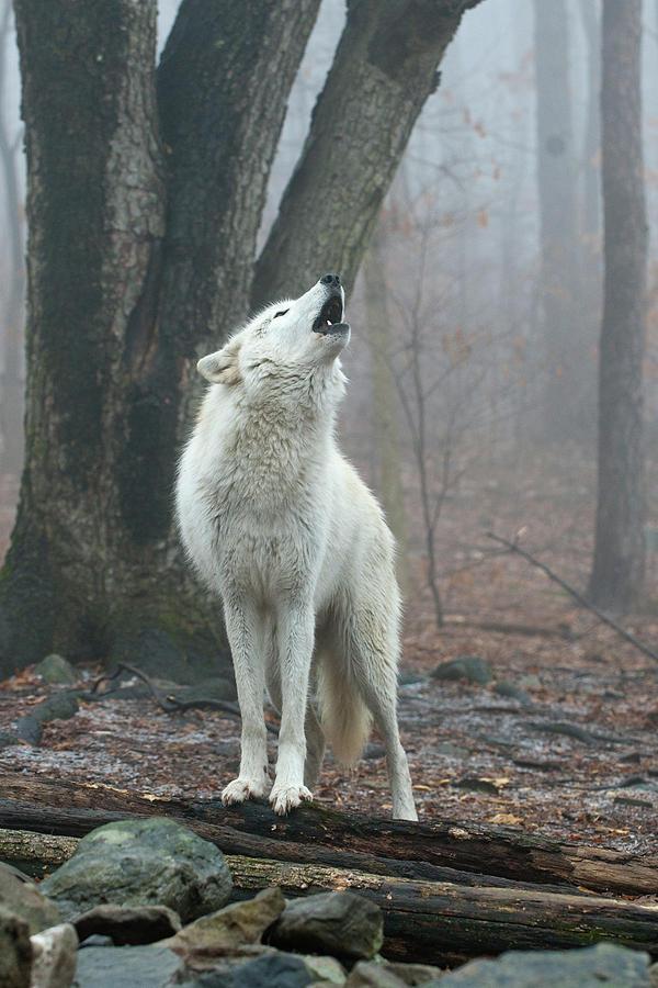 Воя в ночи пост. №2. фотография, Стая, Волк, Природа, длиннопост