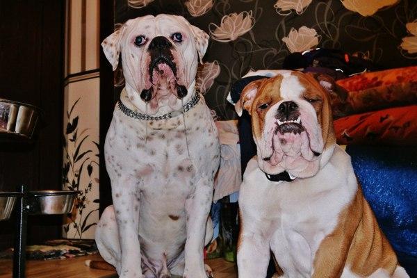 Гарик и Валера бульдог, друзья, собранность, фотография, Собака