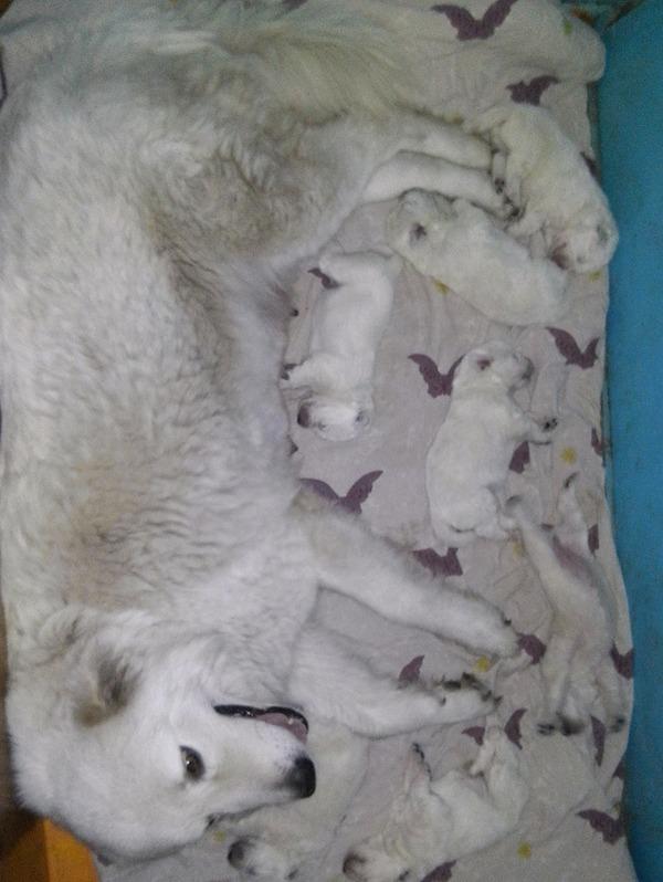 Щенки. Маремма абруцкая овчарка породистые собаки, маремма, гифка, Собака, Животные, длиннопост