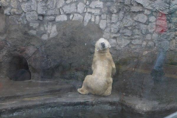 Когда зашел не вовремя... московский зоопарк, белый медведь, ку-ку