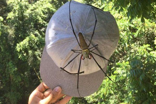 Giant Orb spider, австралийский паук нефила Паук, Австралия, Нефила, Видео, Длиннопост