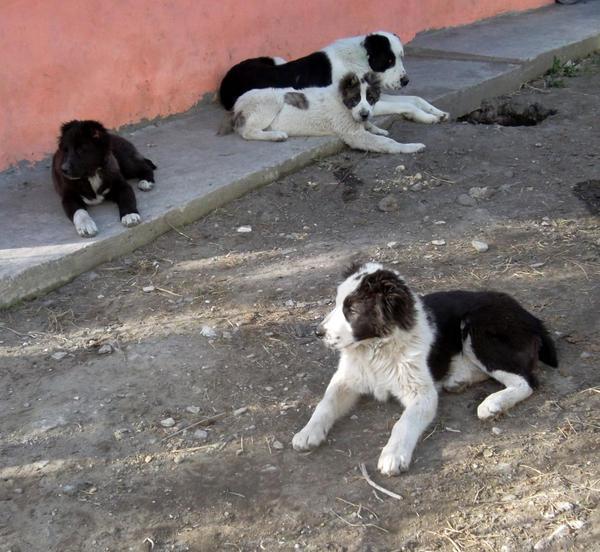 Молодежь охраняет участок) Собака, щенки, охрана, фотография, Алабай