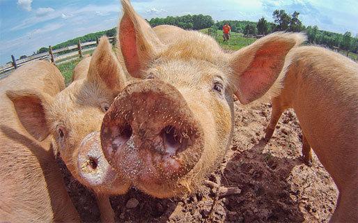 Когда мясо реально убивает. веганы, свинья, премия Дарвина, фейк