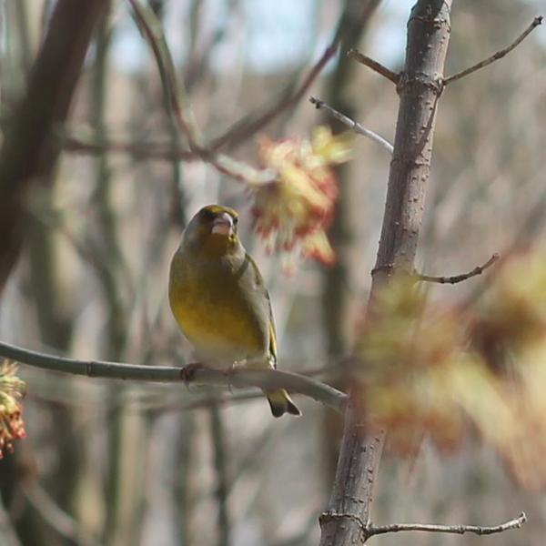 Птички Фотография, Птицы, Зеленушка, Тверь, Длиннопост