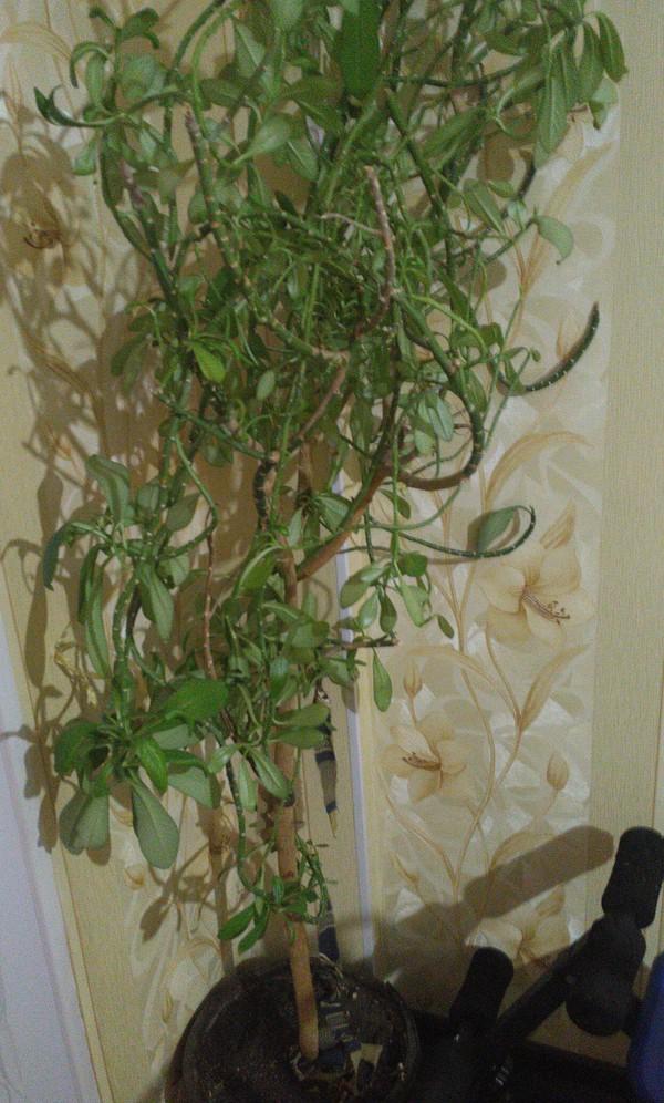 Подскажите что за растения Комнатные растения, Неизвестное растение, Растения, Длиннопост