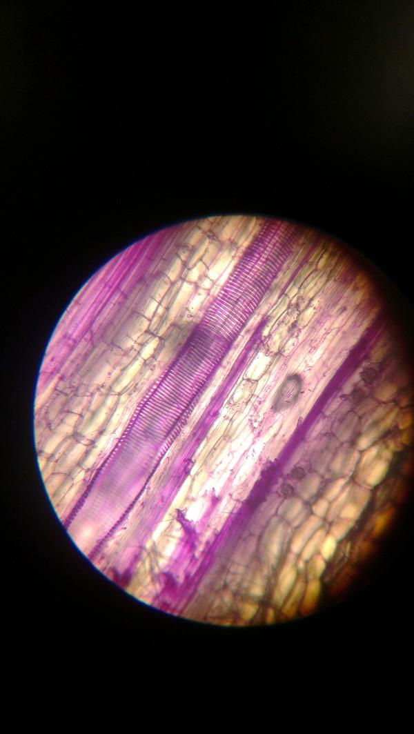 Всякое под микроскопом микроскоп, гистология, водоросли, растения, длиннопост