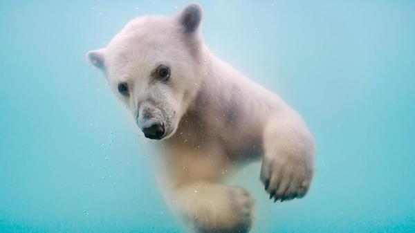 Белый мокрый и красивый. белый медведь, вода, мокрый, камера онлайн, длиннопост