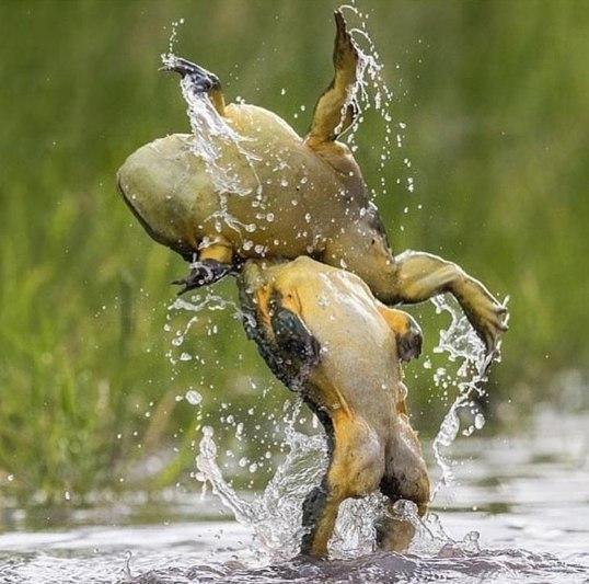 Battletoads Жаба, лягушки, боевые жабы, Природа, борьба, драка, ЗОЖ, Battletoads