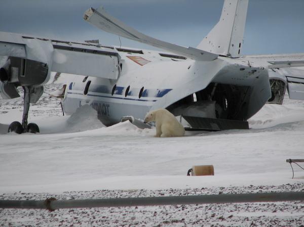 Полетели в Антарктиду! фотография, белый медведь, самолет, арктика