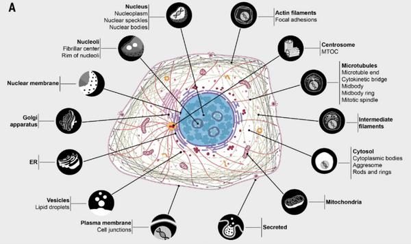 Составлен самый подробный атлас белков человека Биология, Наука, Биохимия