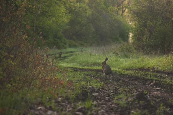 Шесть ушей заяц, фотография, Животные, Природа, Россия, лес