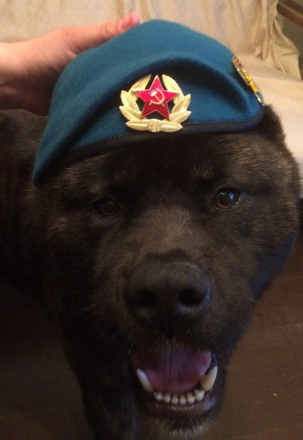 Акитос боевой пёс Собака, ВДВ, Американская акита, Пёс, Акитос