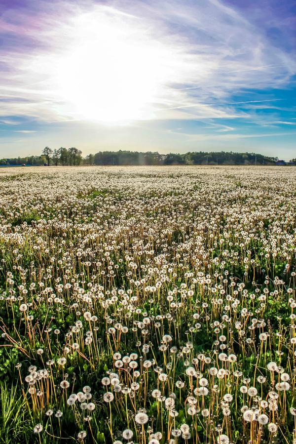Одуванчиковое поле лето, Беларусь, Одуванчик, Природа, май