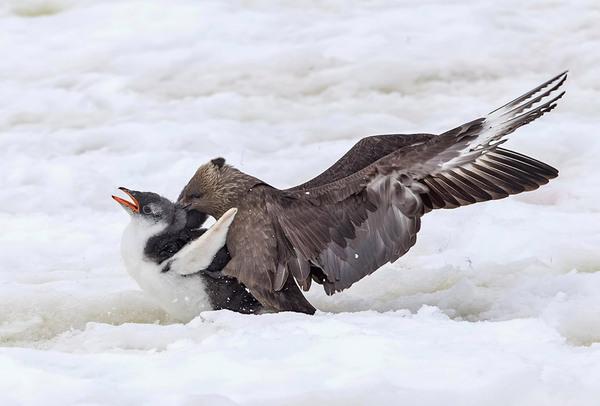 Не на того напали длиннопост, пингвины, птицы