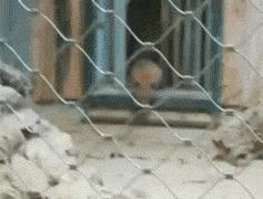 Рысёнок сбежал из вольера зоопарка Мюнхена Рысь, Зоопарк, Германия, Мюнхен, Безопасность, Халатность, Животные, Гифка, Видео