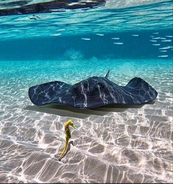 Скат и морской конёк