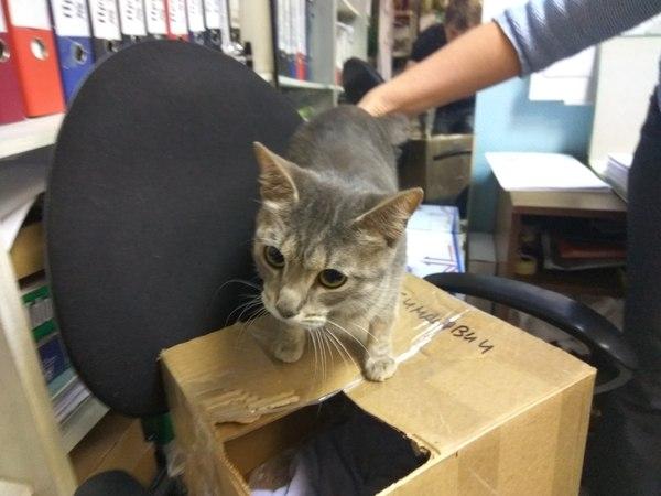 Ищутся старые или новые хозяева для кошечки . потеряшка, кот, потерялся кот, мурманск, ищем хозяев, помощь