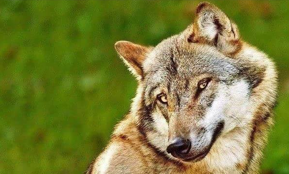 О наболевшем Лето, Лишний вес, Животные, Волк
