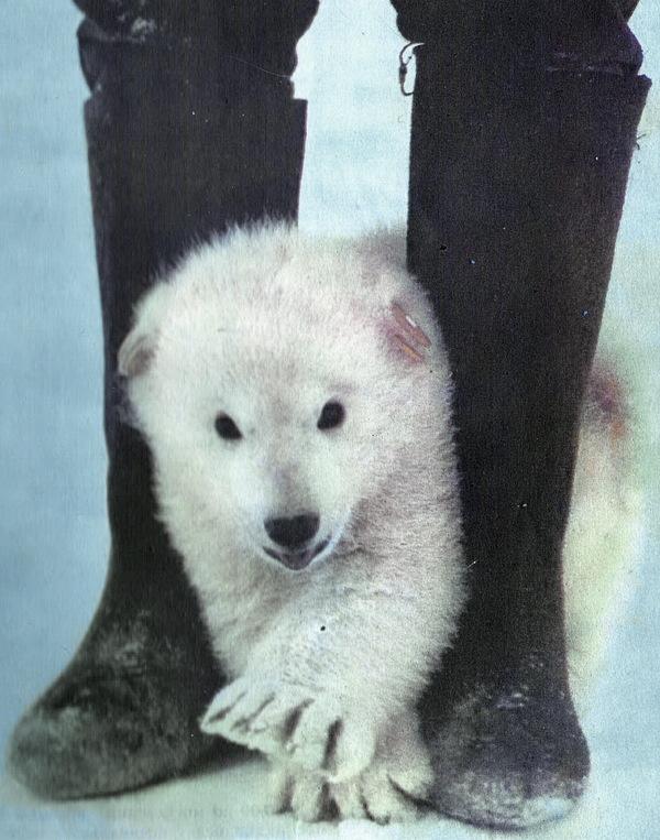 Медведица Урсула. Ленинград. белый медведь, зоопарк, Животные, редкие животные, детёныши животных, длиннопост