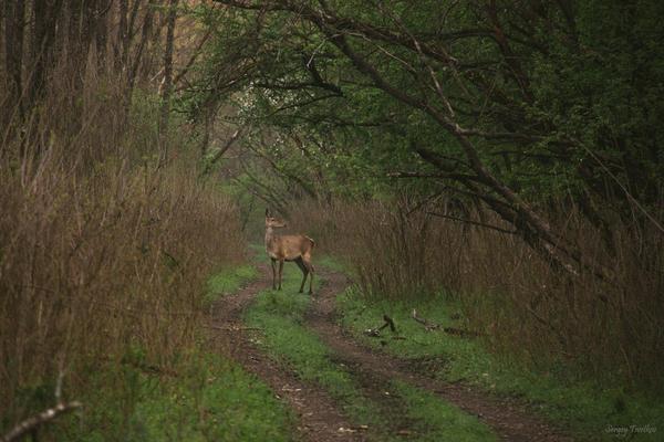 Любопытство моё, лес, животные, фотография, олень